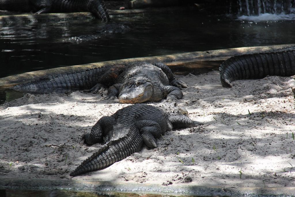 Krokodile in der Sonne